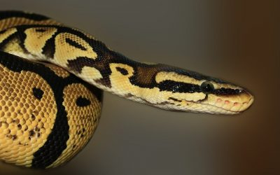 Wąż Trzebnica